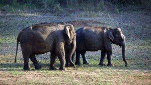 Periyar-tigre-reserve-thekkady-kerala-india-wild wild-elephant - in-forestt