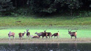 periyar-tigre-reserve-thekkady-kerala-one-of-famous-wild life-safari-place in kerala