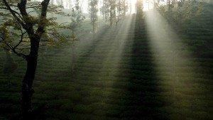 wayanad_tea-plantation-