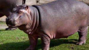 indiann-hippo-potamus---indian-wild-life-tour