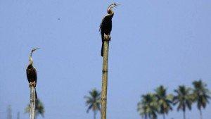 kumarakom_bird_sanctuary20131031110102_525_1