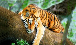 Indian-tigre-_-the-indian-journeys