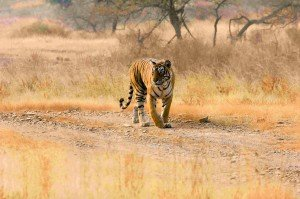 indian holiday package for wild safari