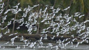 kadalundi_bird_sanctuary20131031104742_6_1