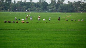 kuttanad_the_rice_bowl_of_kerala20131127140624_59_1